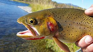 Yellowstone cutthroat trout - Yellowstone cutthroat trout