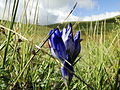 Yet another blue flower (8367796055).jpg