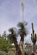Yucca elata blooming.jpg