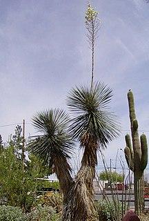 <i>Yucca elata</i> species of perennial plant