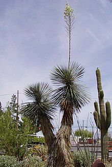 Vascular Plants of the Gila Wilderness-- Yucca elata