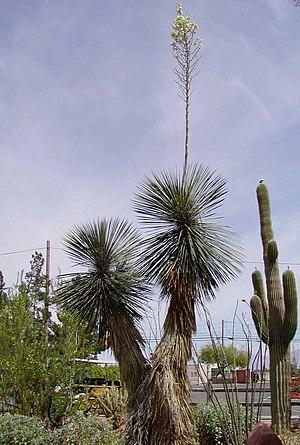 Yucca elata - Large soaptree yucca