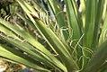 Yucca faxoniana 5zz.jpg