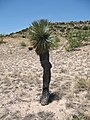Yucca rostrata fh 1186.13 TX BB.jpg