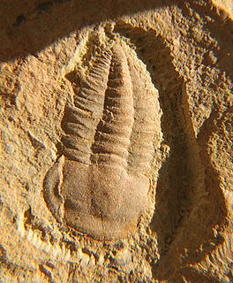 <i>Yunnanocephalus</i> genus of trilobites