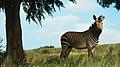 Zebra (8167770617).jpg