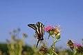 Zebra Swallowtail Butterfly (11324069615).jpg