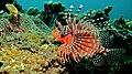 Zebra Turkeyfish (Dendrochirus zebra) (8456378887).jpg