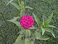 Zinnia elegan Flower.jpg