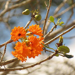 <i>Cordia dodecandra</i> Species of flowering plant