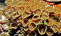 Zoanthids (Protopalythoa sp.) (8481639279).jpg