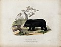 Zoological Society of London; a Thibet bear. Coloured etchin Wellcome V0023098.jpg
