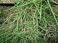 Zoysia tenuifolia-1-yercaud-salem-India.JPG