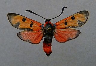 <i>Zygaena laeta</i> Species of moth
