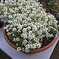 'Giga White' alyssum IMG 5065.jpg