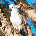 (1)Cockatoo-1aab.jpg