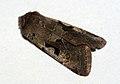 (2190) Hebrew Character (Orthosia gothica) (4441574845).jpg