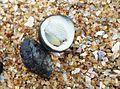 (Neritidae) genera Seashells at Bheemunipatnam beach 01.JPG