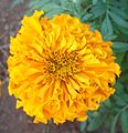 (Tagetes erecta) Marigold flower at Mudasarlova Park 02b.jpg