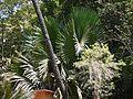 ¿ Corypha umbraculifera L. ? (4609035319).jpg