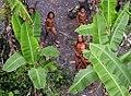 Índios isolados no Acre em 2008.jpg