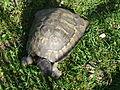 Želva domácí 1.JPG