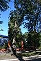 Біла акація в Переяслав-Хмельницьку.jpg