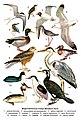 Водно-болотные птицы Великого Луга.jpg