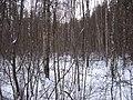 Вот это и есть настоящая чаща леса - panoramio.jpg