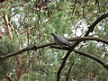 Голуб-синяк Columba oenas.jpg