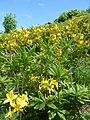 Заросли рододендрона желтого на горе Бештау.jpg