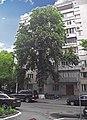 Каштан Іващенко 02.JPG