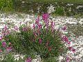 Крейдяні відслонення Hedysarum cretaceum4.jpg