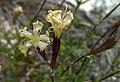 Крейдяні відслонення Silene cretacea квітки.jpg