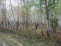 Лес после пожара - panoramio (1).jpg