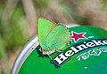 Малинница - Callophrys rubi - Green Hairstreak - Малинова пеперудка - Grüner Zipfelfalter (33485040890).jpg