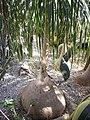 М. Ялта, сел. Нікіта. Нікітський ботанічний сад 03.jpg