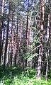 През гората към Карлък.jpg
