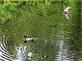 Сергиевка. Утки на Большом пруду.jpg