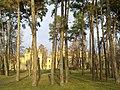 Сосны в парке КПИ г. Киев Украина.jpg