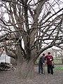 Старовинна груша на Карнаватці 28.jpg
