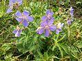Цветочки голубые.jpg