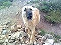 كلب شارد في ريف إدلب.jpg