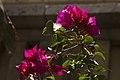 گل کاغذی- Bougainvillea 11.jpg