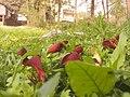 কাঁটা মান্দার ফুল সাভার erythrina fusca Savar, Dhaka.jpg