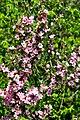ბალი მენახირის Prunus georgica (tenella) Zwergmandel.JPG
