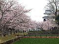 大村公園 桜.JPG