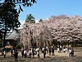 弘法寺、臥姫桜 - panoramio.jpg