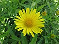 牛眼菊 Buphthalmum salicifolium -維也納大學植物園 Vienna University Botanical Garden- (28029863383).jpg