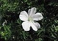 白花血紅老鸛草 Geranium sanguineum 'Album' -維也納高山植物園 Belvedere Alpine Garden, Vienna- (28643199303).jpg